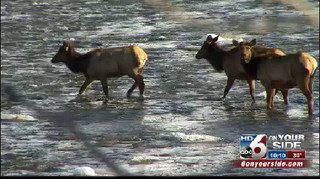 Elk feeding dilemma in Pine/Featherville