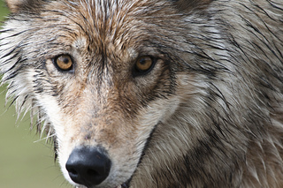 Groups reach deal in Idaho wolf suit