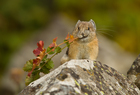 Protections rejected for American pika.