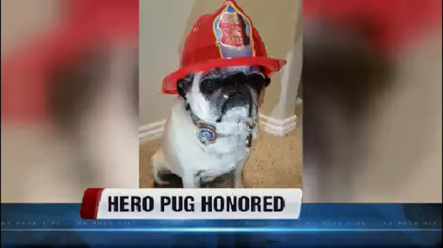 Pug receives 'Hometown Hero Award' after saving family from fire