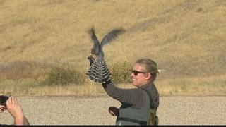 Fall Flights near end at Birds of Prey Center