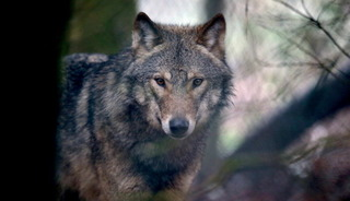 Gray wolf killed in Montana after 700-mile trek