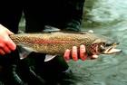F&G's Nampa Hatchery January trout stocking