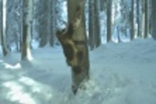 Camera captures wolverine near McCall