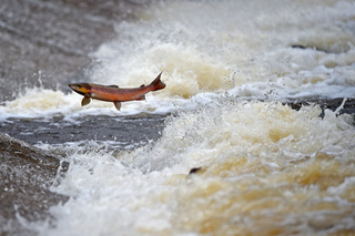 Groups sue to save salmon