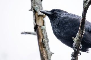 Rat poison kills 50 crows in Nampa