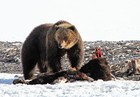 Wyoming to vote on grizzly hunt