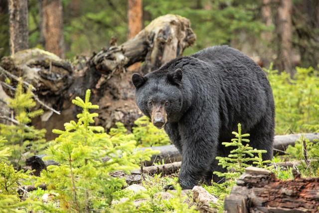 Wounded bear bites Idaho hunter before he kills animal