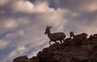 Lawsuit claims sheep grazing threatens bighorns