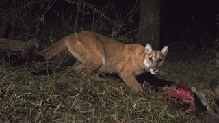 Dog attacked by mountain lion in Boulder County