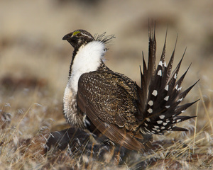 Idaho leaders ask to join sage grouse