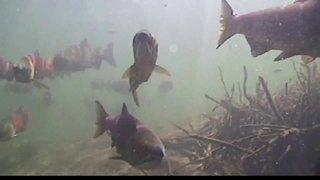 Experts: Idaho hatchery is killing salmon