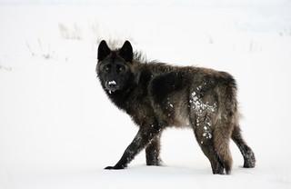 10 Incredible wildlife photos in Yellowstone