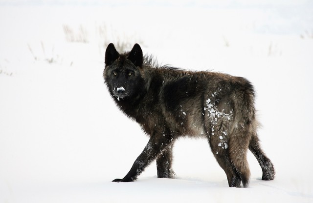 reintroducing wolves to yellowstone and idaho essay Reintroduction efforts placed 66 wolves in yellowstone national park and part of idaho in 1995-96  (central idaho and yellowstone).