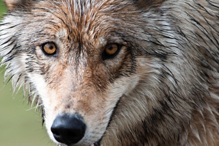Wyoming releases wolf hunting kill numbers