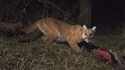 VIDEO: Hungry mountain lion stalks deer decoy