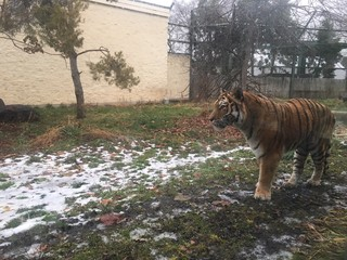Tiger returns to Zoo Boise following surgery