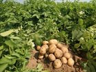 US potato exports taking a hit due to trade wars
