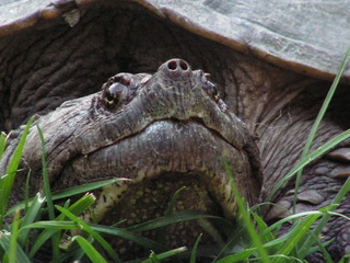 Snapping turtle in Preston investigation killed
