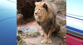 Idaho zoo euthanizes lion due to bad health