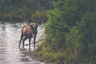 Official work to preserve caribou population