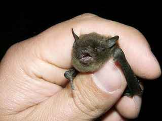 Ada County bat tests positive for rabies