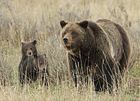 Judge again delays grizzly hunt ruling