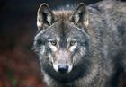 Lawmakers put wolves, species law in crosshairs